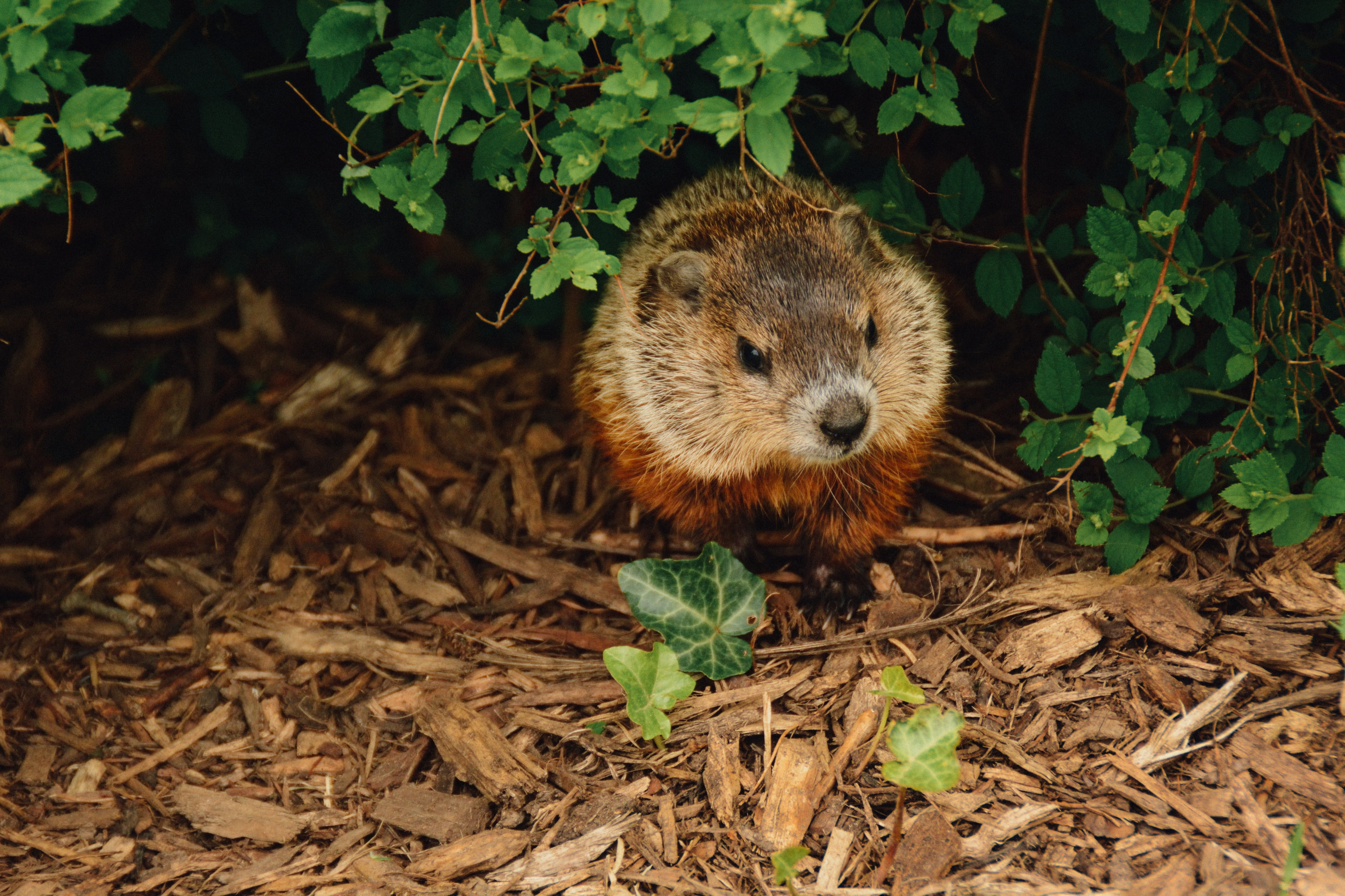 Groundhog walking on wood chips out of a green bush.