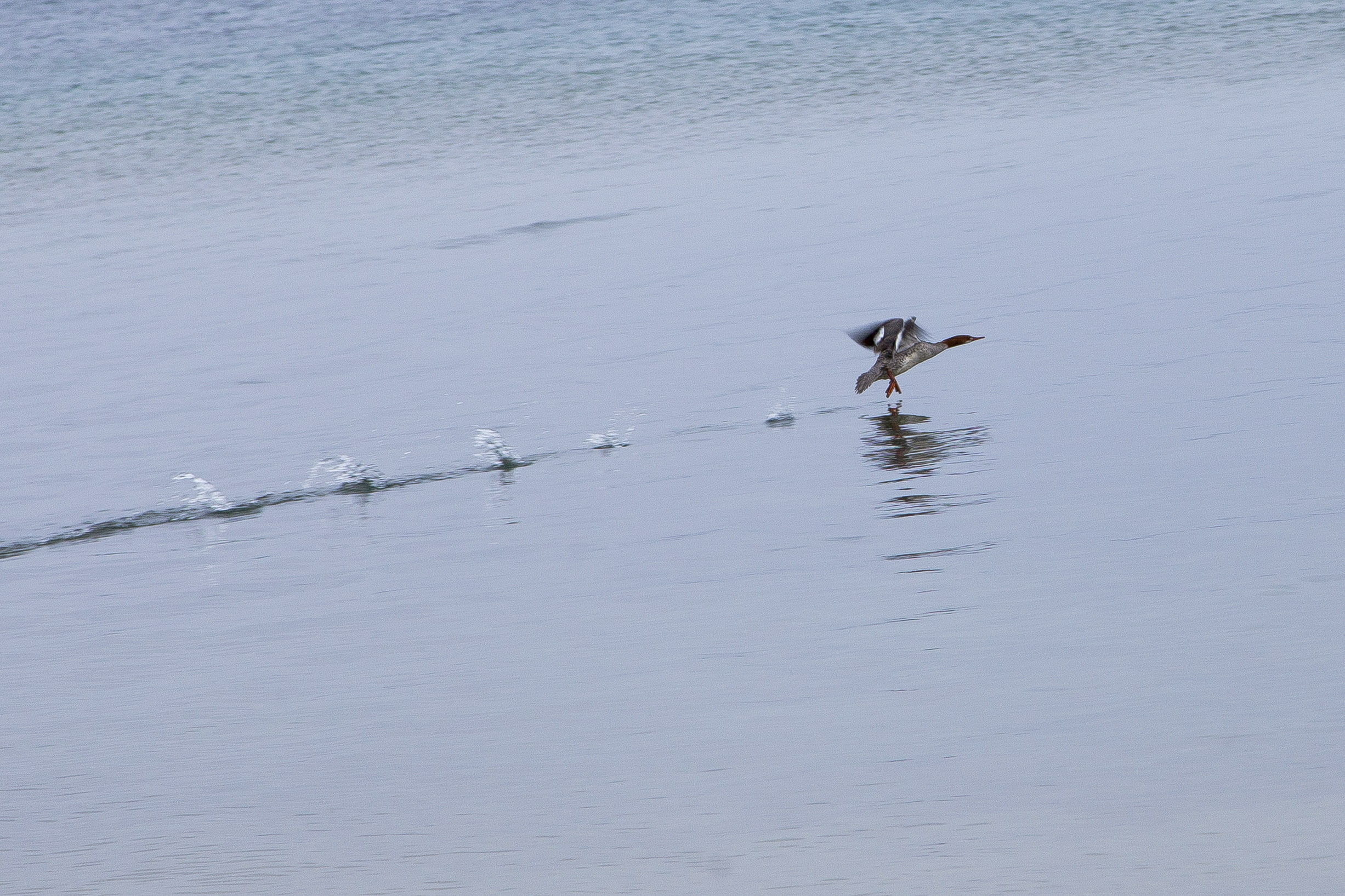 a female common merganser in flight outside our window