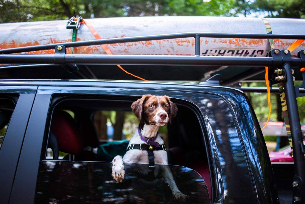 dog with head out of the window of a vehicle with kayaks strapped to the roof
