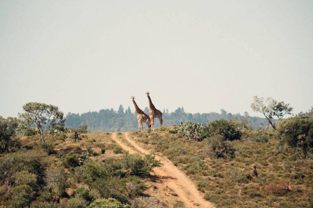 Two giraffes stand together at the top of a hill in the wilderness